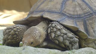 Giant Turtle Eating Grass in Zoo. Closeup.