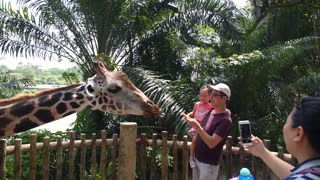 SINGAPORE, 13 AUGUST, 2016: Family Feeding Giraffe with Carrot at Zoo