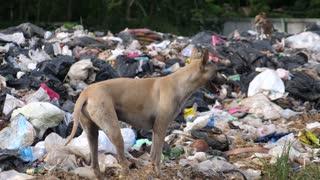 Stray Dog At Garbage Dump. Environmental Impacts And Pollution. Waste Disposal.