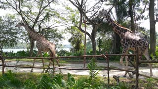 Tall Giraffes Walking Outdoors in Zoo