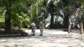Zebra Booty in Zoo in Summer
