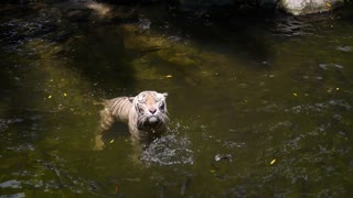 White Tiger Catching Meat During Feeding Time in Zoo