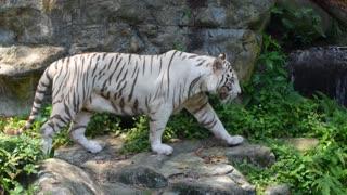 White Tiger in Jungle near River. Captivity of Zoo