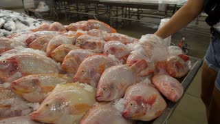 Woman Chooses Fresh Red Snapper Fish on Ice in Supermarket