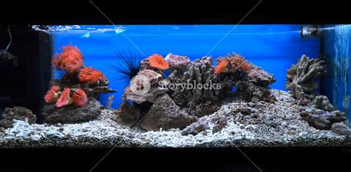 Exotic marine aquarium coral reef environment with pink actinia