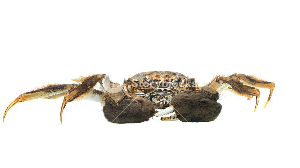 Chinese mitten crab Eriocheir sinensis isolated on white