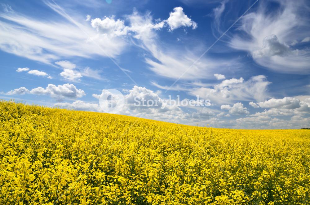 Yellow Field In Latvia