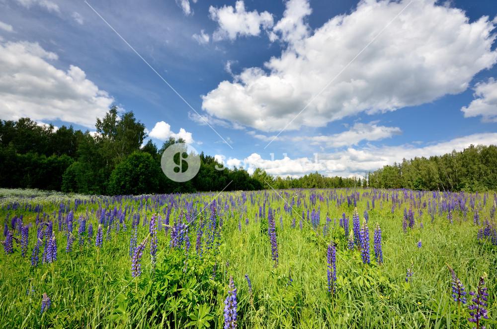 Lupine Flowers Field
