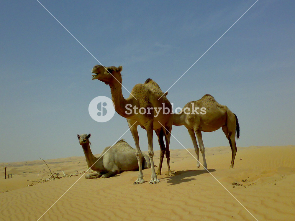 Camels in the desert Filming of camels during a trip to the Emirates