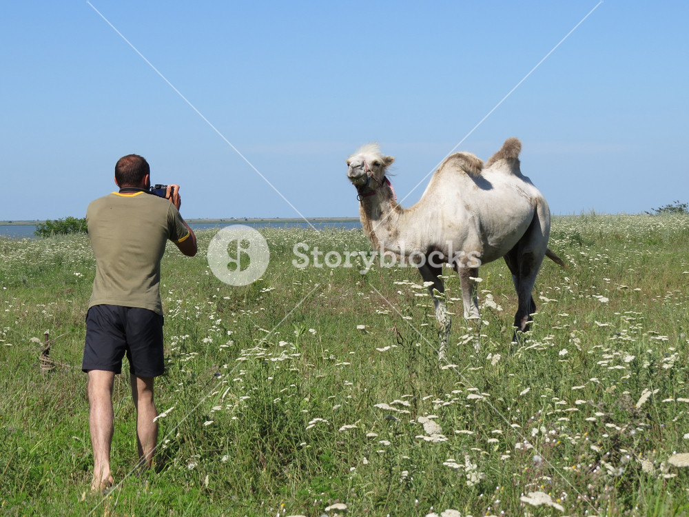 Man photographing a camel Animals on private farm