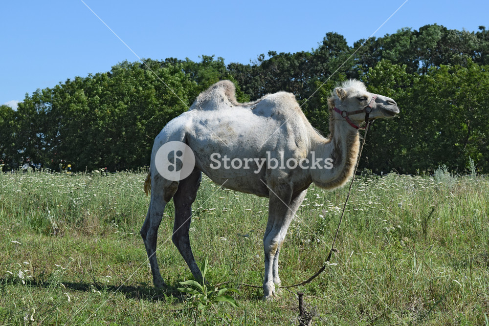 Camel on a pasture Animals on private farm