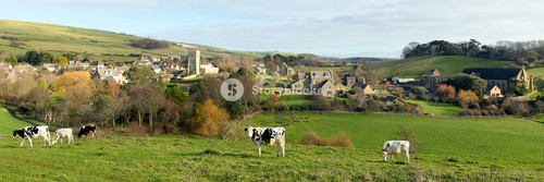 Cows in the countryside English village of Abbotsbury Dorset UK panorama
