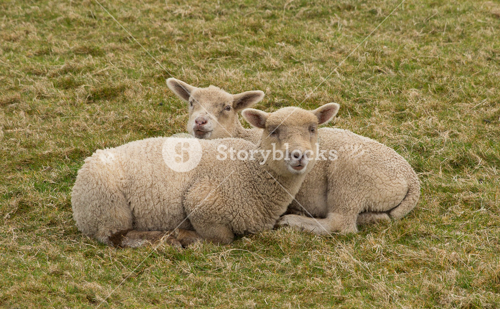 Two lambs cuddling up together