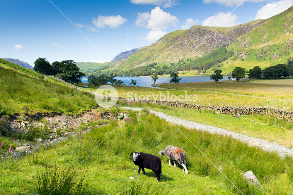 Herdwick sheep and mountains Buttermere UK lake District