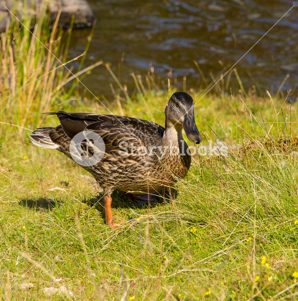 Mallard duck by the river on beautiful summer day