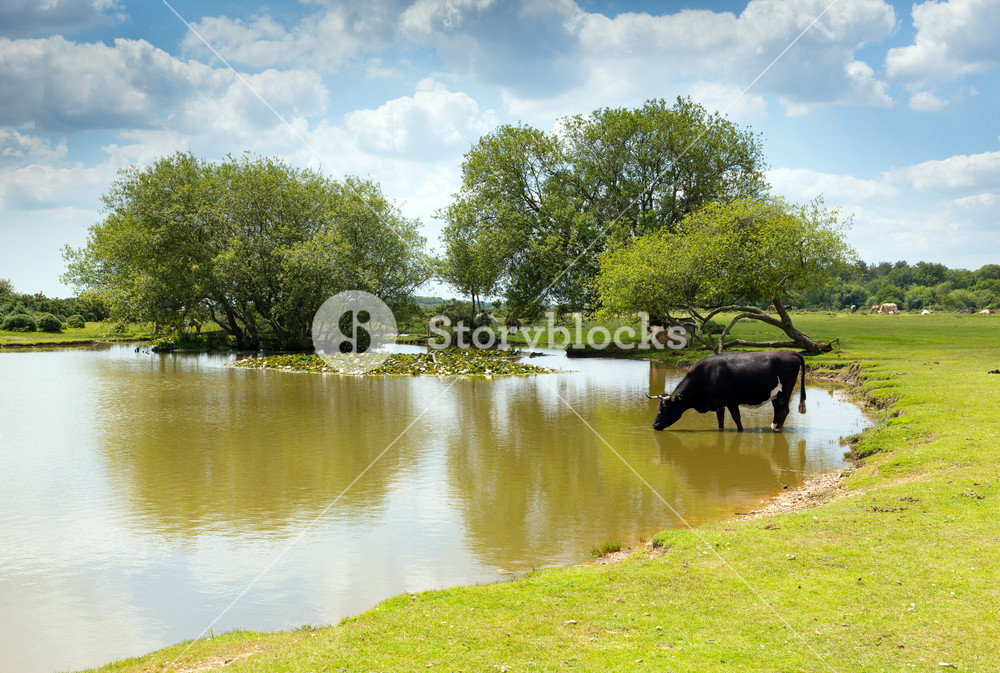 Cow standing in water at a lake