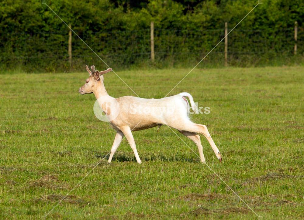 White albino deer running in a field