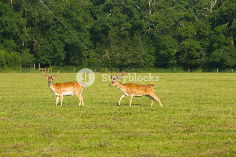 Two wild red deer in the New Forest Hampshire England uk