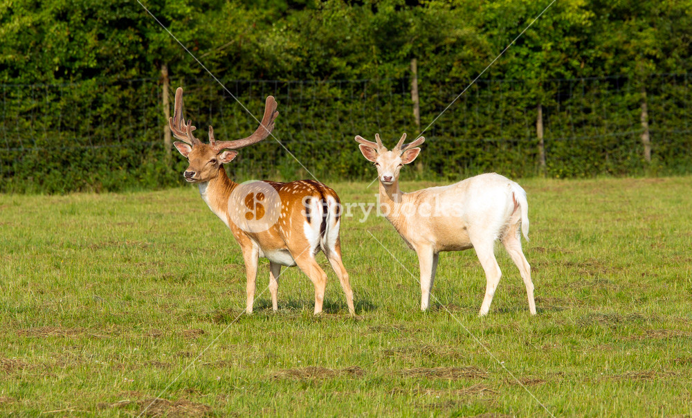 White albino and red deer in the New Forest Hampshire England uk