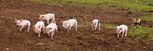 Young cute baby piglets running to camera including a spotted pig with black spots panoramic view