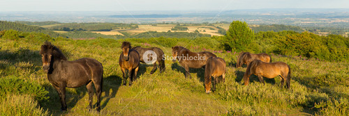 Wild ponies Quantock Hills Somerset England UK countryside views on a summer evening