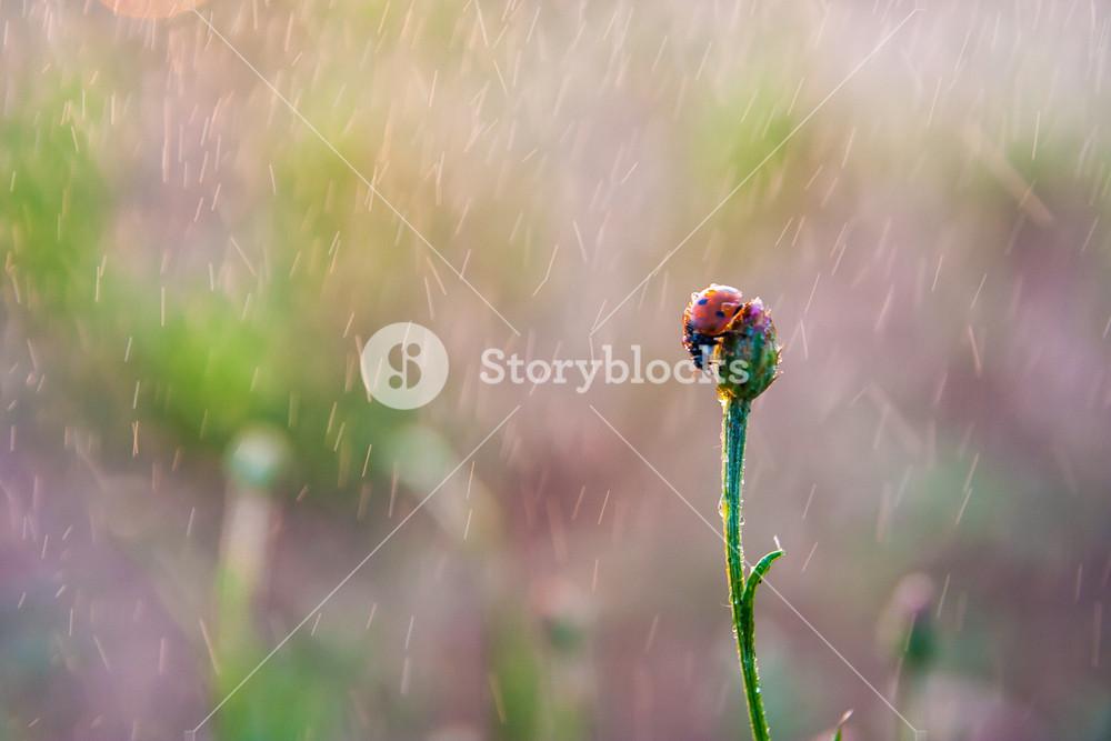 Ladybug in springtime rain