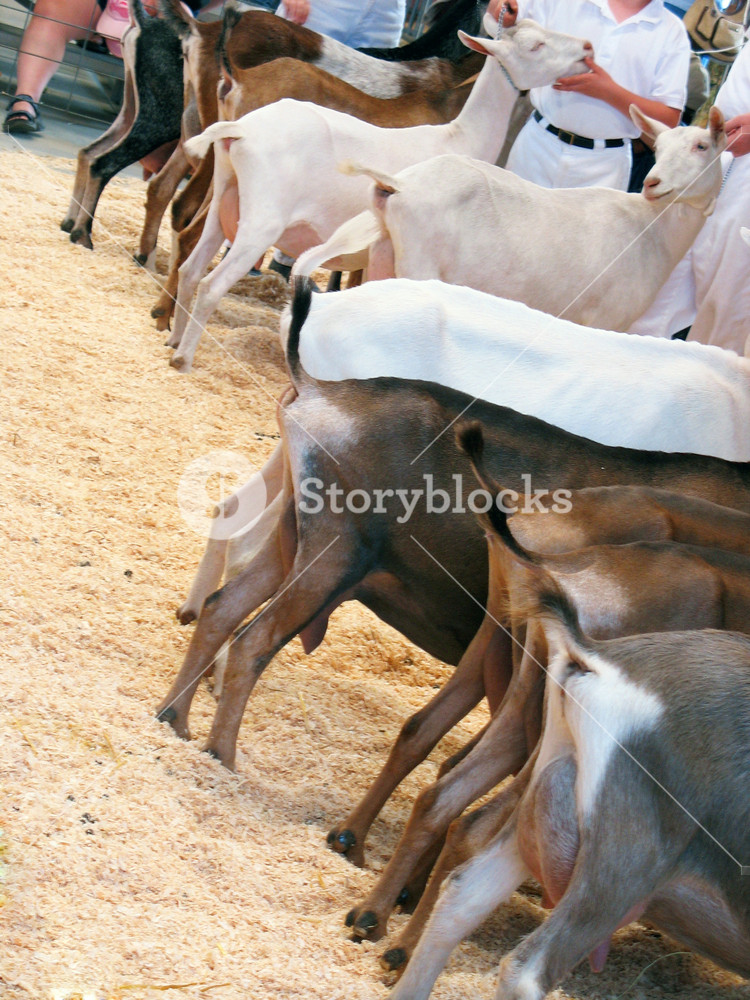 A lineup of the goats during a country fair.
