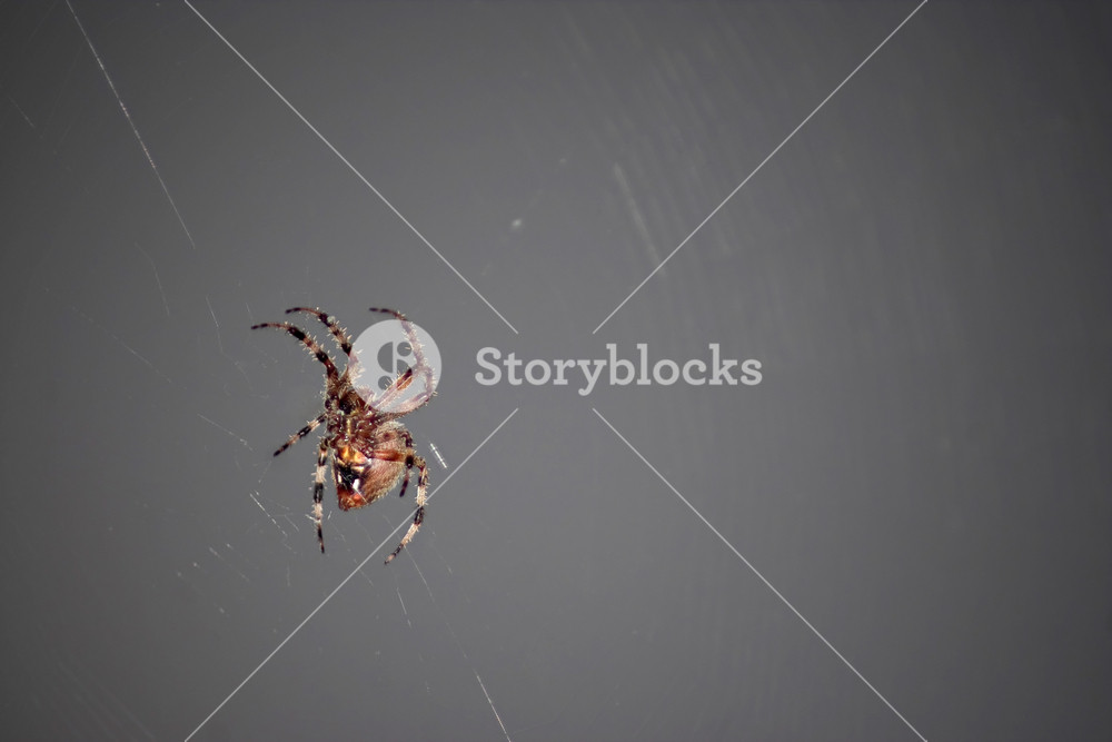 A macro shot of a spider in its web.  This type of spider is common to the northeast United States.