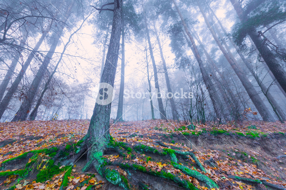 Beautiful autumnal landscape of foggy forest with fallen leaves and old tree trunks. Late autumn in polish forests. Tranquil colorful scene.