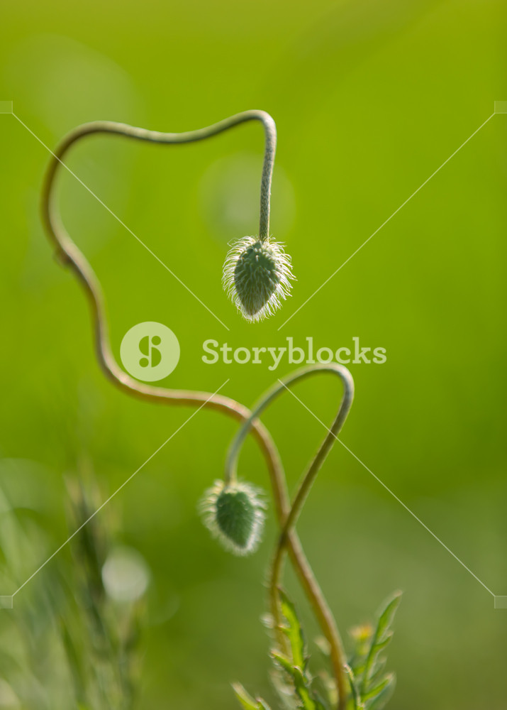 Beautiful close up of poppy buds growing in nature. Green plant macro background