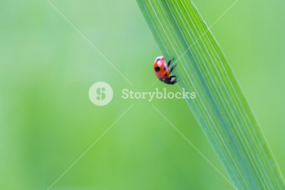 Beautiful macro shoot of ladybug sitting on grass leaf.