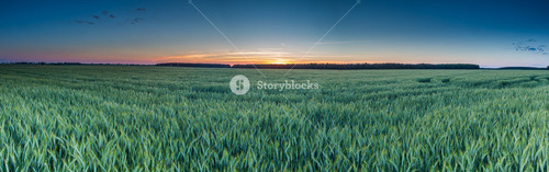 Beautiful panoramic landscape of green rye field at sunset. Agricultural countryside.--