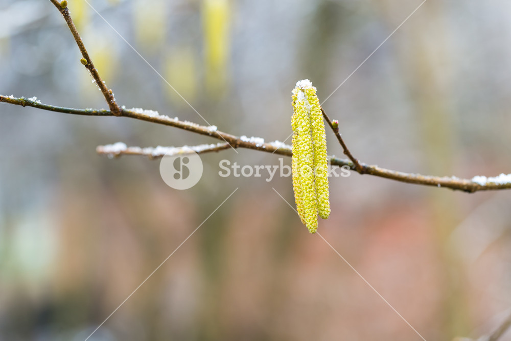 Blossoming hazelnut tree branch in early springtime