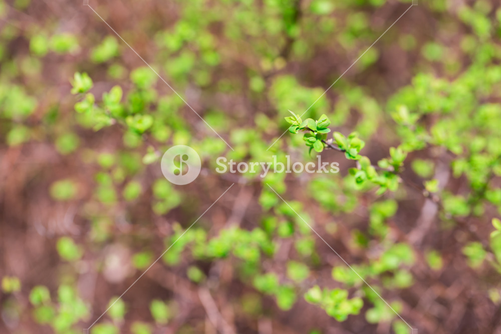 Close up of hedge plant. Springtime bush with fresh young green leaves