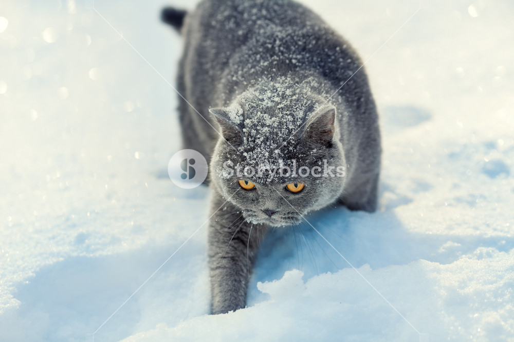 Covered With Snow Cat Walking In Snow In Winter Royalty Free Stock Image Storyblocks