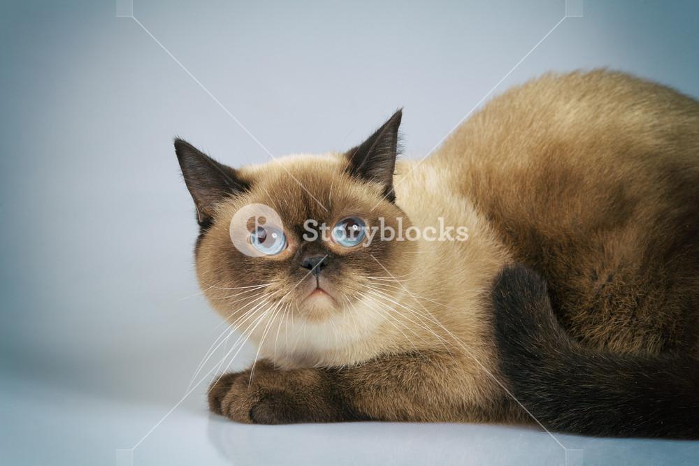 Cute dreaming siamese cat