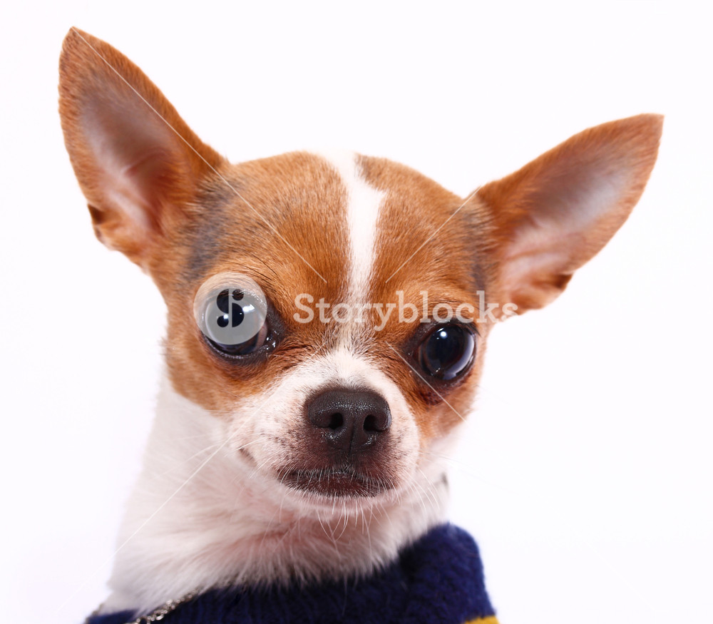 Cute Little Chihuahua Wearing A Jumper