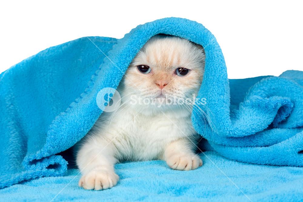 Cute little kitten peeking out from under the soft warm blue blanket