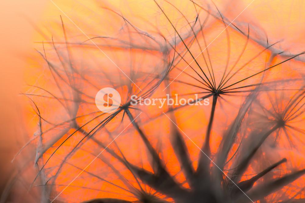 Dry dandelion seeds on sunset sky background