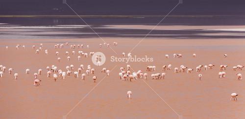 Flock of pink flamingos feeding in rosy waters