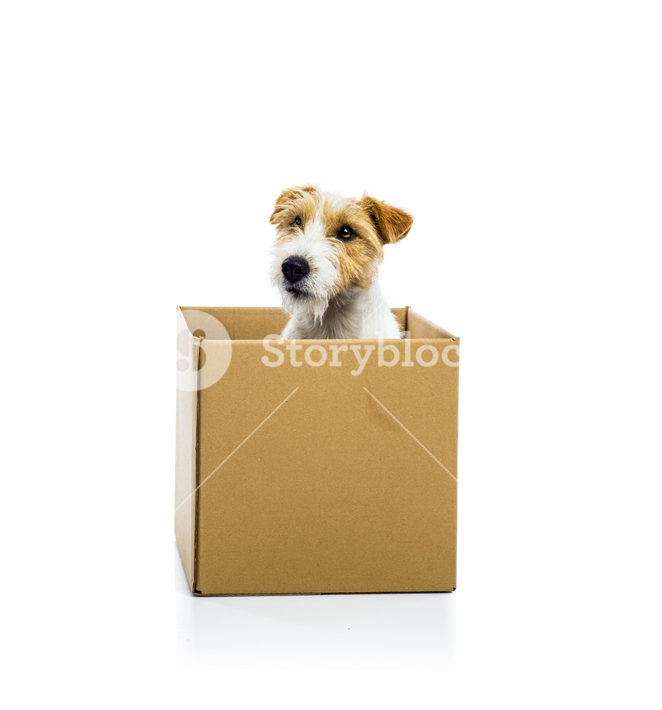 An adorable young parson russell terrier dog inside a cardboard box, isolated on white background
