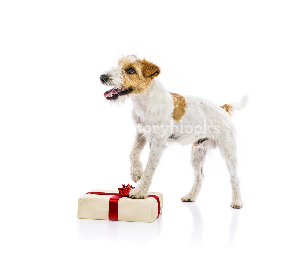 An adorable young parson russell terrier dog standing on Christmas gift, isolated on white background