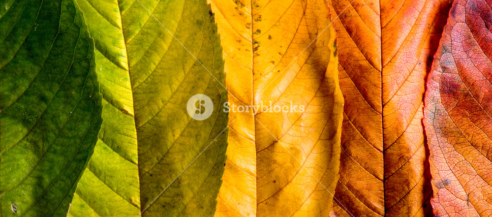 Autumn composition. Close up of colorful leaves in a row. Studio shot.