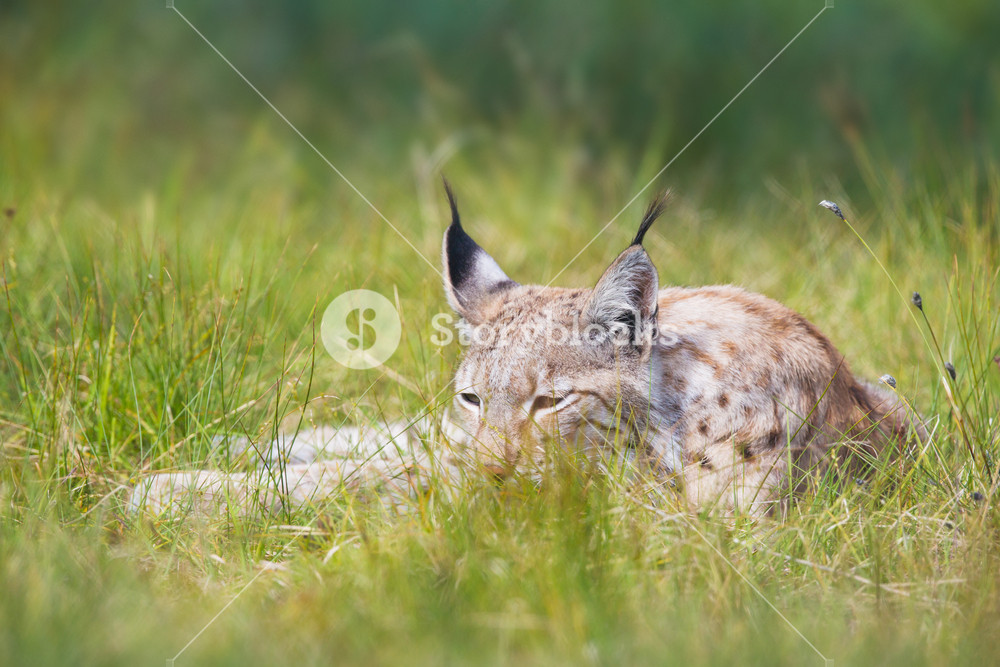 Eurasian lynx laying in the green grass.