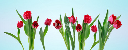 Red horizontal tulip banner isolated on light blue background