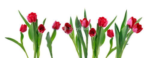 Red horizontal tulip banner isolated on white