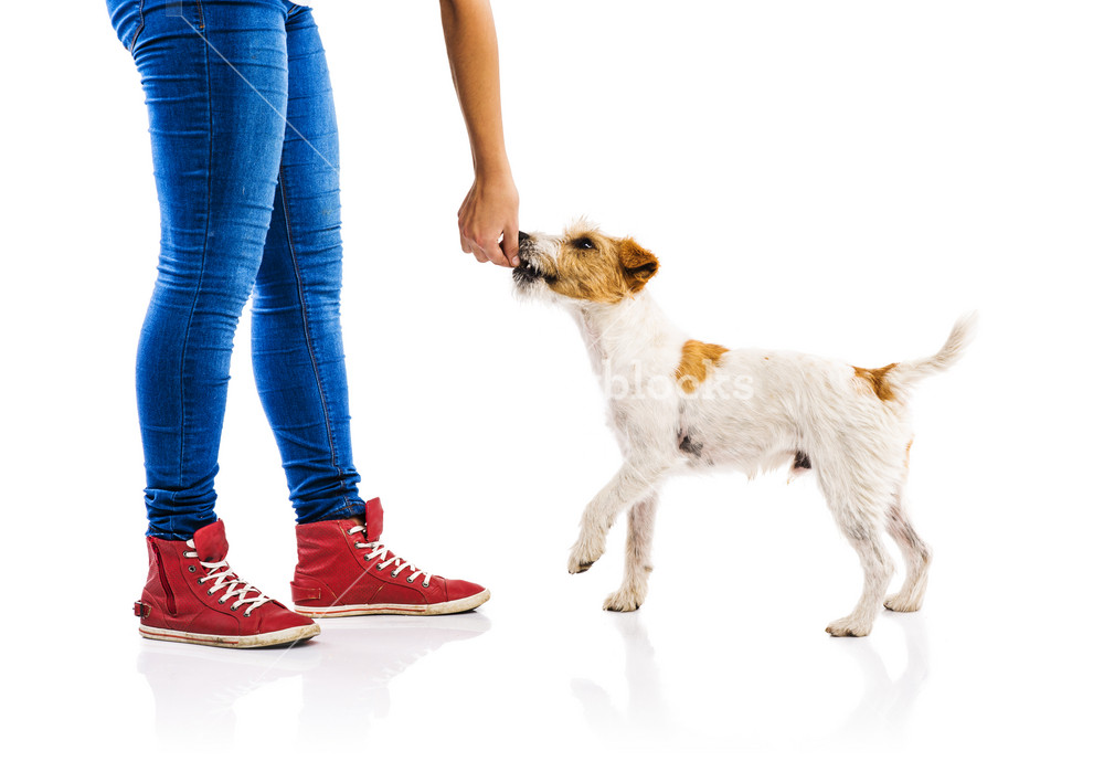 Unrecognizable woman feeding cute parson russel terrier dog on white background isolated