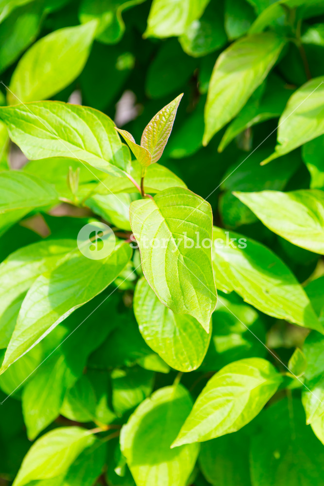 Green leaves background. Close up of leaves in hedge