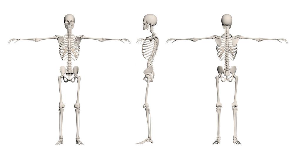 Human Skeleton   Male