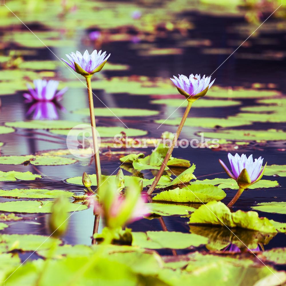 Lotus. Water lily flower